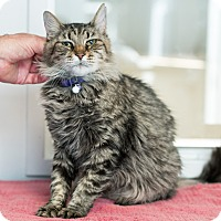 Domestic Mediumhair Cat for adoption in Houston, Texas - Eleanor