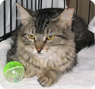 Maine Coon Cat for adoption in San Antonio, Texas - Felicity