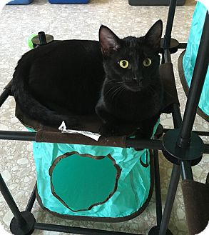 Domestic Shorthair Kitten for adoption in Columbia, Tennessee - Seal