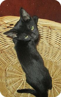 Domestic Shorthair Kitten for adoption in Mims, Florida - Bazinga