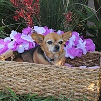 Chihuahua Dog for adoption in Imperial Beach, California - Bella