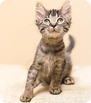 Domestic Shorthair Kitten for adoption in Chicago, Illinois - Thyme