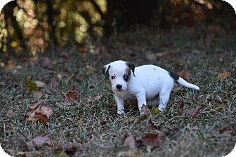Dachshund Mix Puppy for adoption in Groton, Massachusetts - Dallas