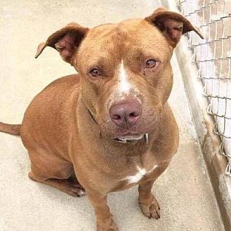 Vizsla Mix Dog for adoption in Brooksville, Florida - Rudy