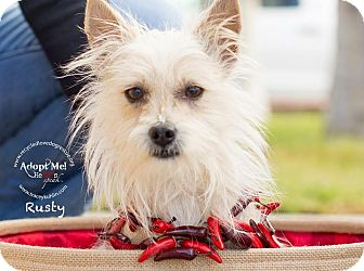 Australian Terrier/Westie, West Highland White Terrier Mix Dog for adoption in Inland Empire, California - RUSTY