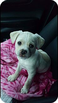 Terrier (Unknown Type, Medium) Mix Puppy for adoption in Concord, California - Bob