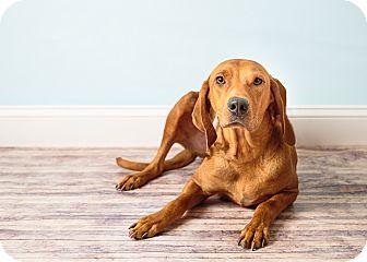 Redbone Coonhound Mix Dog for adoption in Hendersonville, North Carolina - Leslie