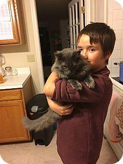 Domestic Mediumhair Cat for adoption in Arlington, Virginia - Royal-Laidback/Loving