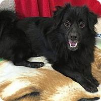 Adopt A Pet :: 'SIMBA' - Agoura Hills, CA