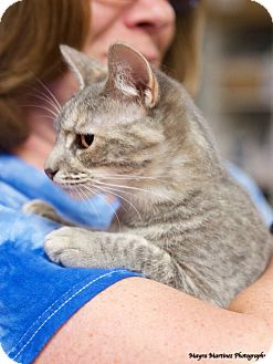 Domestic Shorthair Cat for adoption in Chattanooga, Tennessee - Precious