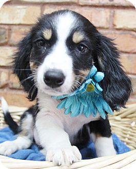 Spaniel (Unknown Type) Mix Puppy for adoption in Benbrook, Texas - Maggie