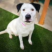 Dalmatian/Labrador Retriever Mix Dog for adoption in Casa Grande, Arizona - Verona