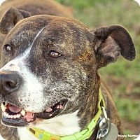 Plott Hound/American Pit Bull Terrier Mix Dog for adoption in Knoxville, Tennessee - Ruby