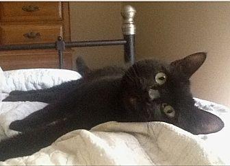 Domestic Mediumhair Cat for adoption in Los Angeles, California - SINNY