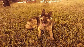 Alaskan Malamute/German Shepherd Dog Mix Dog for adoption in San Martin, California - Trooper