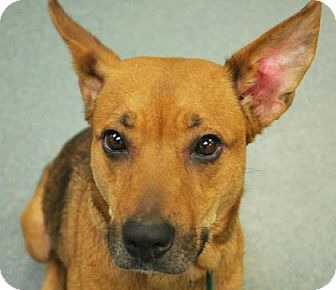 German Shepherd Dog Mix Dog for adoption in Manhattan, Kansas - Kelly