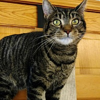Domestic Shorthair Cat for adoption in Topinabee, Michigan - Murphy