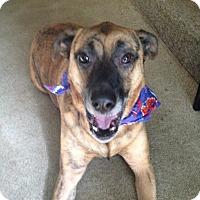 German Shepherd Dog/Labrador Retriever Mix Dog for adoption in Arnold, Maryland - Mitt