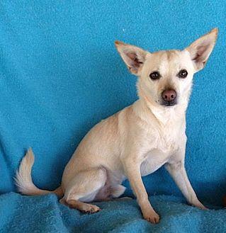 Chihuahua Mix Dog for adoption in Temecula, California - Jackson