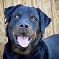 Adopt A Pet :: Biggie Smalls - Irmo, SC