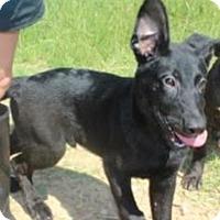 German Shepherd Dog Mix Puppy for adoption in Wakefield, Rhode Island - Finn Jakku