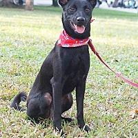 Shepherd (Unknown Type)/Terrier (Unknown Type, Medium) Mix Puppy for adoption in Castro Valley, California - Climy