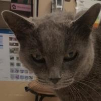Adopt A Pet :: Sapphire - Noblesville, IN