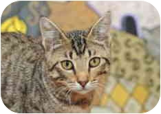 Domestic Shorthair Cat for adoption in Dallas, Texas - Tamal