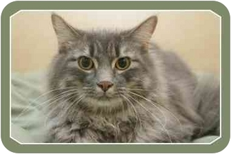 Domestic Mediumhair Cat for adoption in Sterling Heights, Michigan - Rangler - ADOPTED!