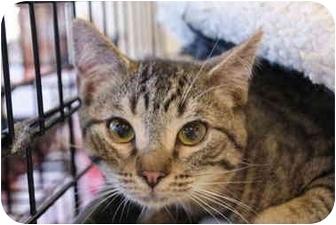 Domestic Shorthair Kitten for adoption in San Ramon, California - Rambo