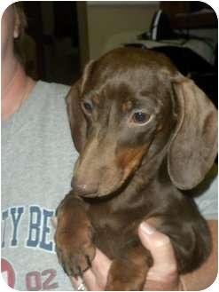 Dachshund Dog for adoption in Baton Rouge, Louisiana - Mocha--pending adoption