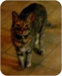 Calico Cat for adoption in Parkton, North Carolina - Sissy