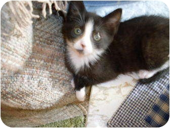 Domestic Shorthair Cat for adoption in Kirkwood, Delaware - Lucy