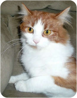 Maine Coon Cat for adoption in Brighton, Michigan - Emily