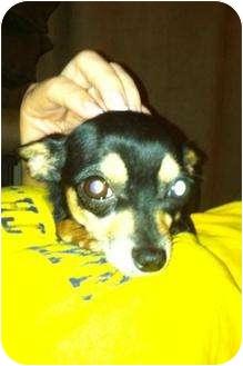 Chihuahua Dog for adoption in Davie, Florida - Nala