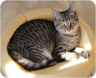 Domestic Shorthair Kitten for adoption in Duncan, British Columbia - Duggles