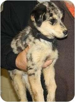 Australian Shepherd Mix Puppy for adoption in Belvidere, Illinois - Anastasia