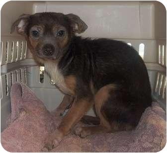 Chihuahua Mix Dog for adoption in Oak Ridge, New Jersey - Waffle