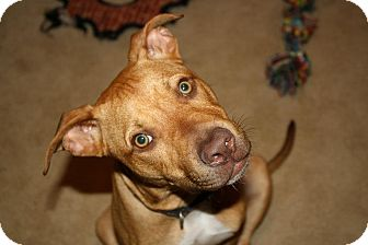 American Pit Bull Terrier Mix Puppy for adoption in Reisterstown, Maryland - Zoey