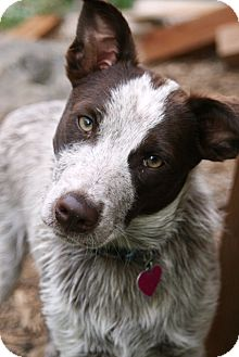 Australian Cattle Dog Mix Dog for adoption in Westminster, Colorado - Jingle