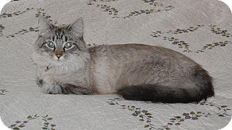Siamese Cat for adoption in Franklin, North Carolina - Chelsea
