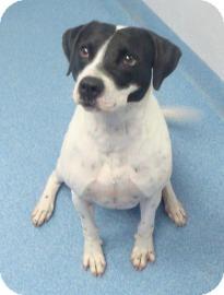 Pointer Mix Dog for adoption in Gainesville, Florida - Jesse