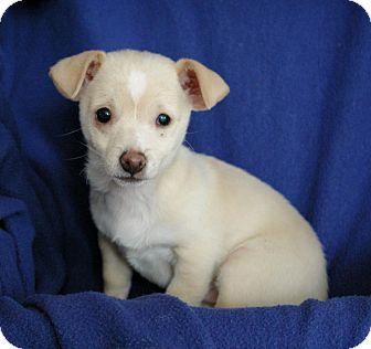 Chihuahua/Dachshund Mix Puppy for adoption in Sacramento, California - Kim