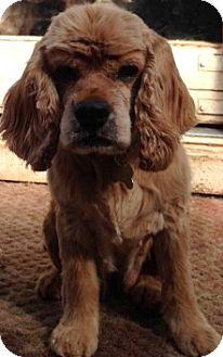 Cocker Spaniel Dog for adoption in Sacramento, California - Alice