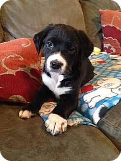 Labrador Retriever Mix Puppy for adoption in Norwich, Connecticut - Finney Hans