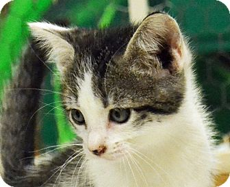 Domestic Shorthair Kitten for adoption in Searcy, Arkansas - Owen