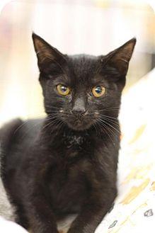 Domestic Shorthair Kitten for adoption in Sacramento, California - Sephia