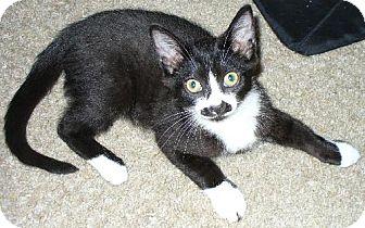 Domestic Shorthair Kitten for adoption in HILLSBORO, Oregon - Mittens
