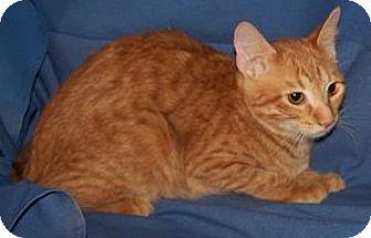 Domestic Shorthair Cat for adoption in Colorado Springs, Colorado - K-Kameron2-Owen