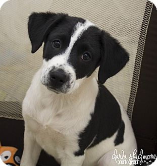 Labrador Retriever Mix Puppy for adoption in Charlotte, North Carolina - Jill (Duggar Litter)